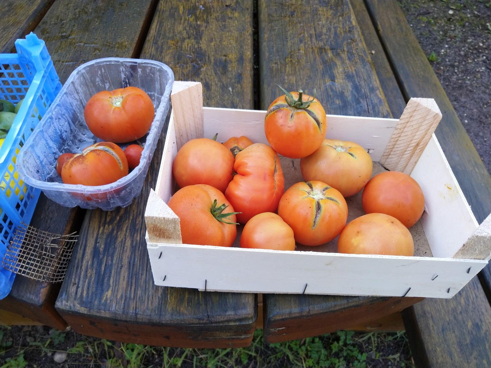 Dernière récolte de tomates - octobre 2019